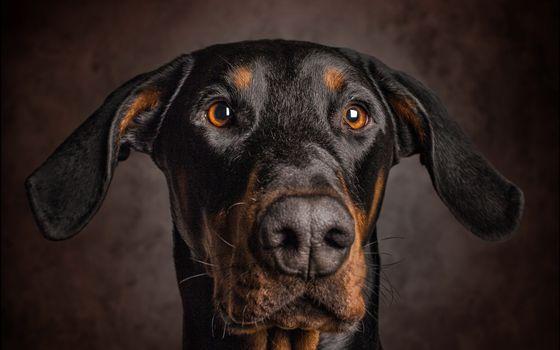 Заставки доберман, пес, морда