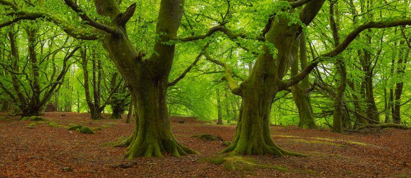Шотландия, Календер, Bracklinn, лесные массивы, деревья