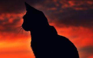 Бесплатные фото кот,силует,уши,усы,шерсть,закат