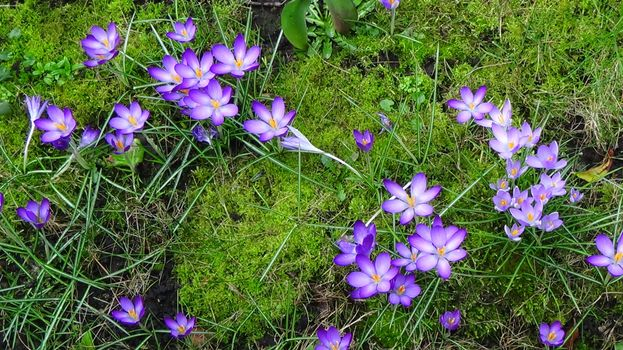 Beautiful wallpaper crocuses, flowers
