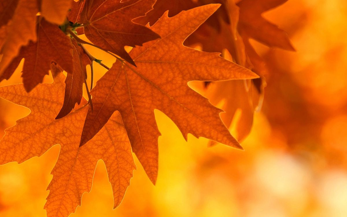 Фото бесплатно листья клена, осень - на рабочий стол