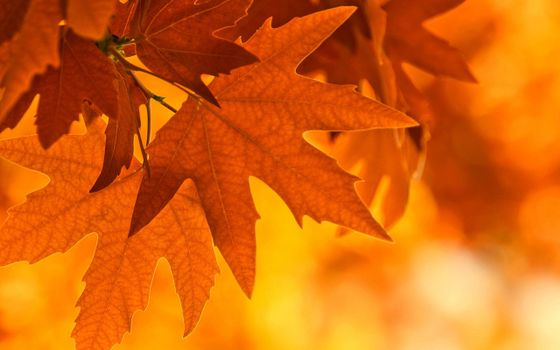 Фото бесплатно листья клена, осень