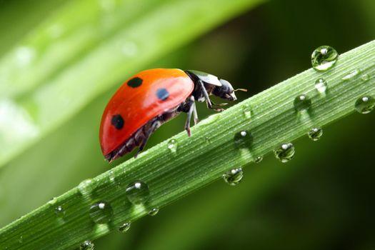 Бесплатные фото божьи коровки,солнце,вода,капли,зелень,лето,божья коровка,жук,жуки,макро,насекомые,роса
