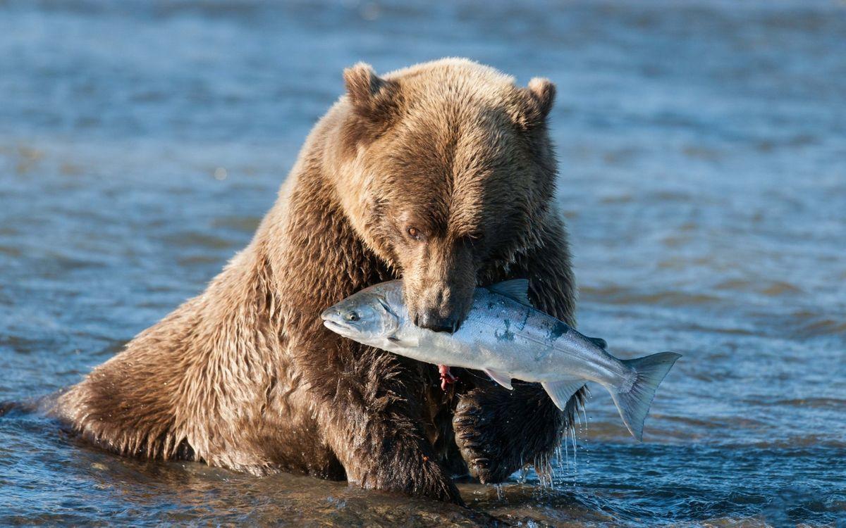 Фото бесплатно медведь, река, рыба, добыча, животные