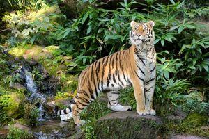 Photo free tiger, predator, view