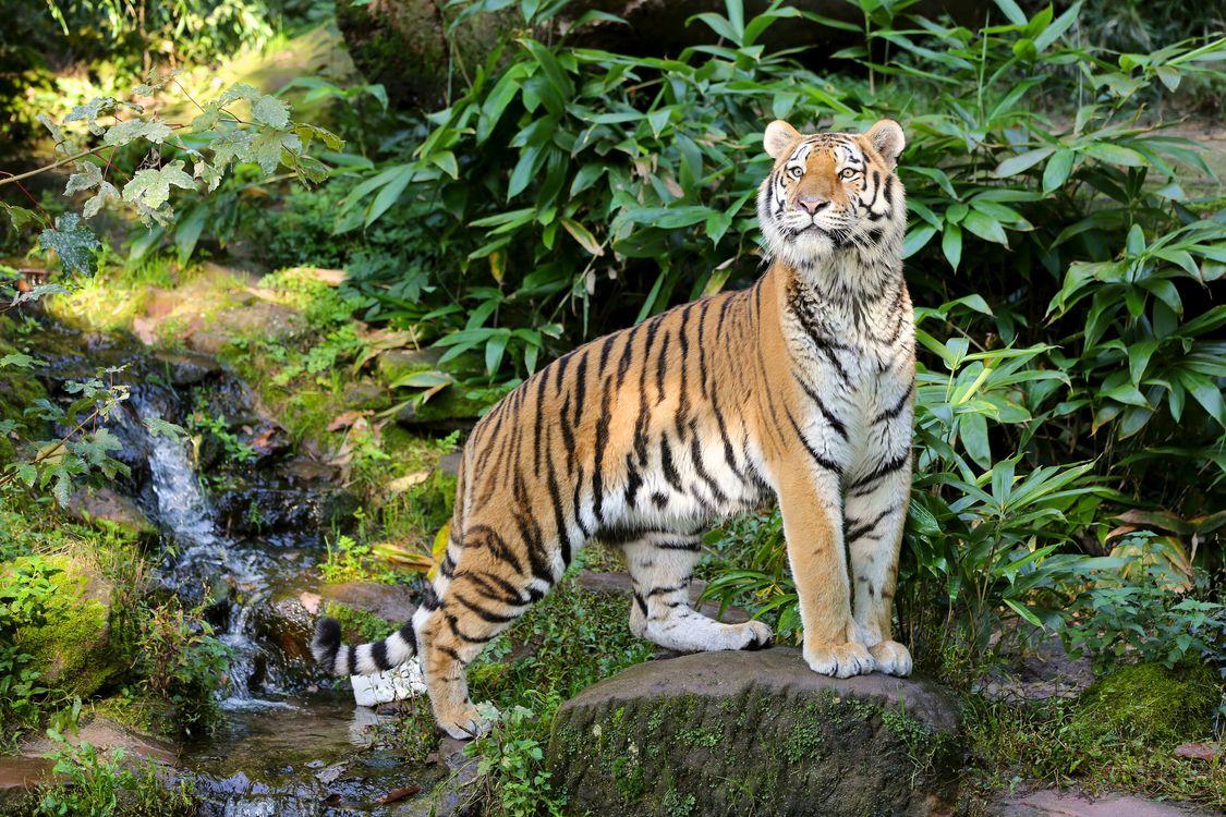 Фото бесплатно тигр, хищник, взгляд, кошки - скачать на рабочий стол
