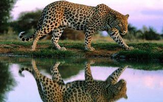 Заставки леопард, грация, шерсть