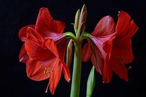 Amaryllis, цветок, флора