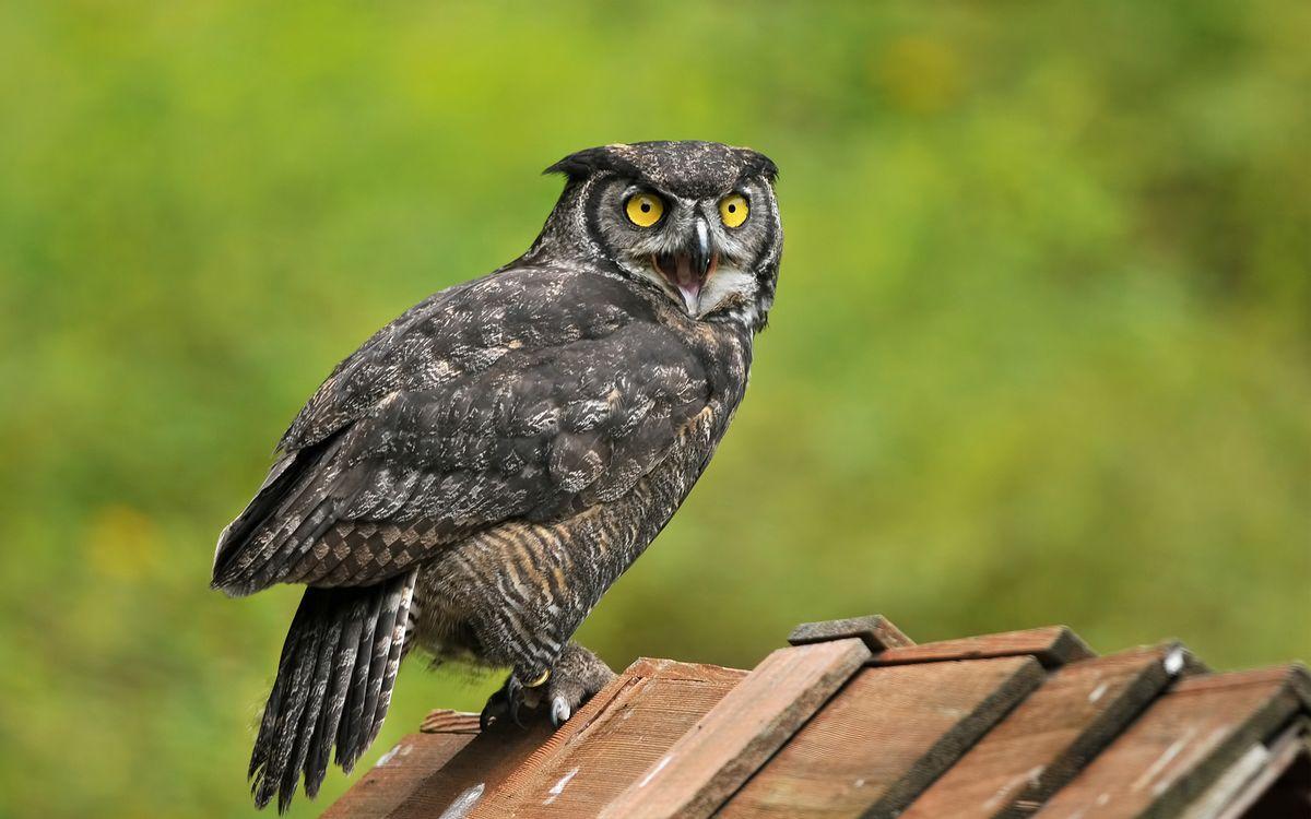 Фото бесплатно филин, клюв, глаза, убивление, птицы
