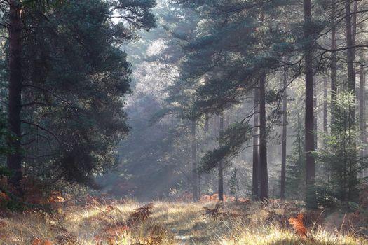 Заставки лес, сосны, папоротник