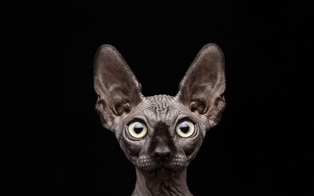 Фото бесплатно сфинкс, лысый, морда, глаза, уши, шкура, морщины, кошки