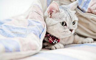 Бесплатные фото кот,морда,лапы,бантик,постель,одеяло