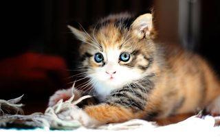 Фото бесплатно пушистый котенок, милый, глазки, разноцветный, удивленный