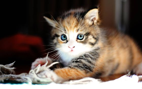 Photo free fluffy kitten, cute, eyes