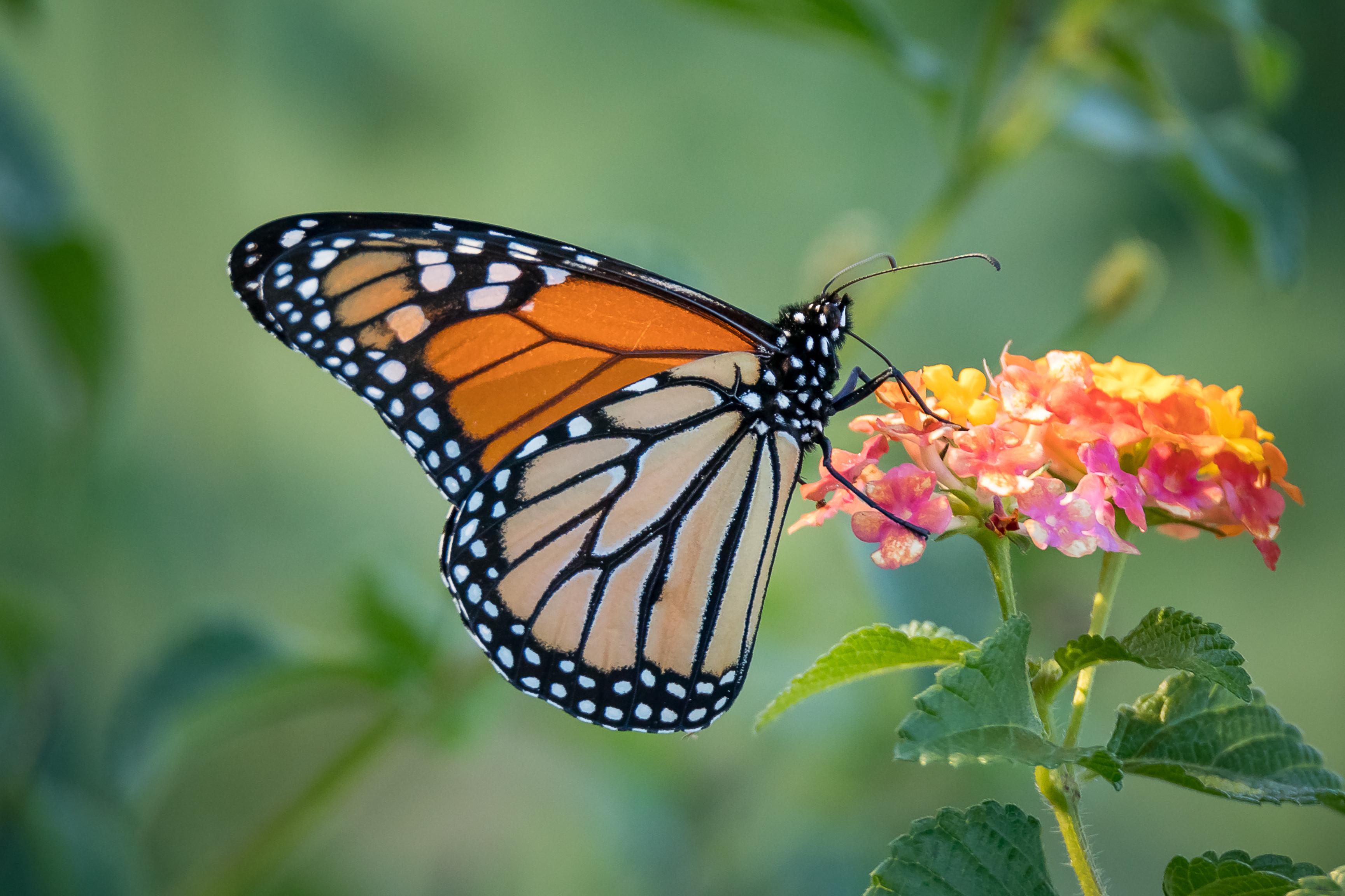 Обои бабочка, цветок, цветы, флора