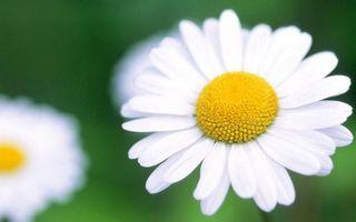 Бесплатные фото ромашки,лепестки,белые,тычинки,пестики,желтые