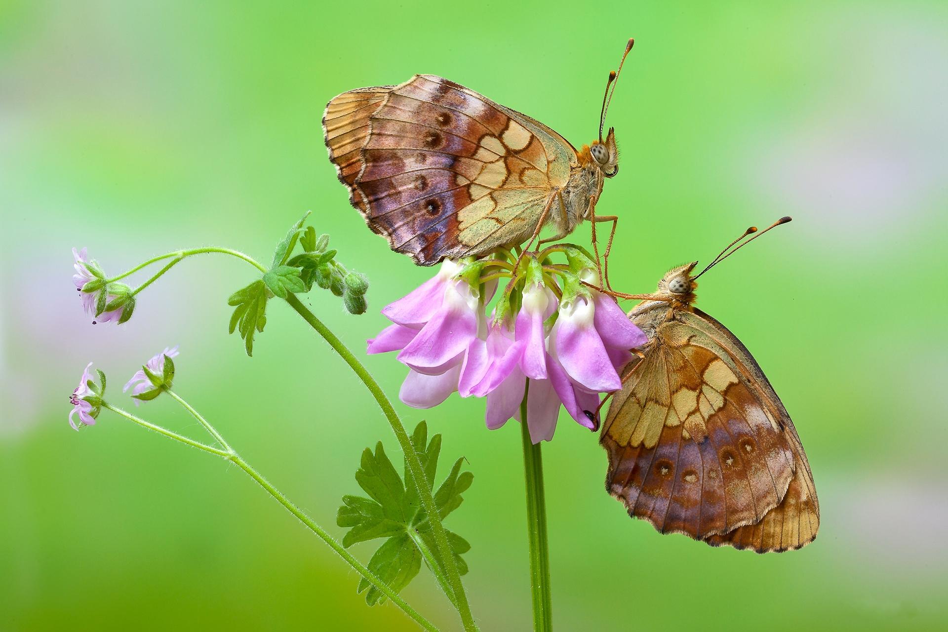 Обои цветок, бабочки, макро