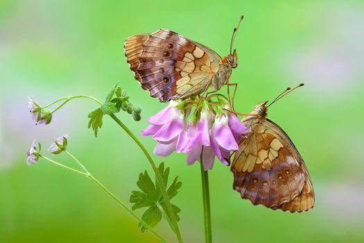 цветок, бабочки, макро