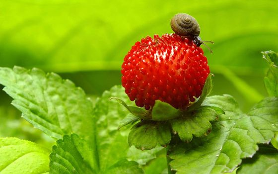 Photo free snail on a berry, red berry, snail