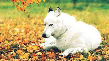 Бесплатные фото белый волк,осень,листопад,трава,волк,черные ушки