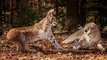 Бесплатные фото лес,кошки,рыси,драка,морды,лапы,шерсть