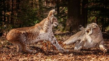Photo free forest, cats, lynx