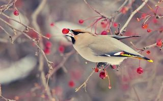 Обои ветки, ягода, птица, перья, клюв, крылья, лапки