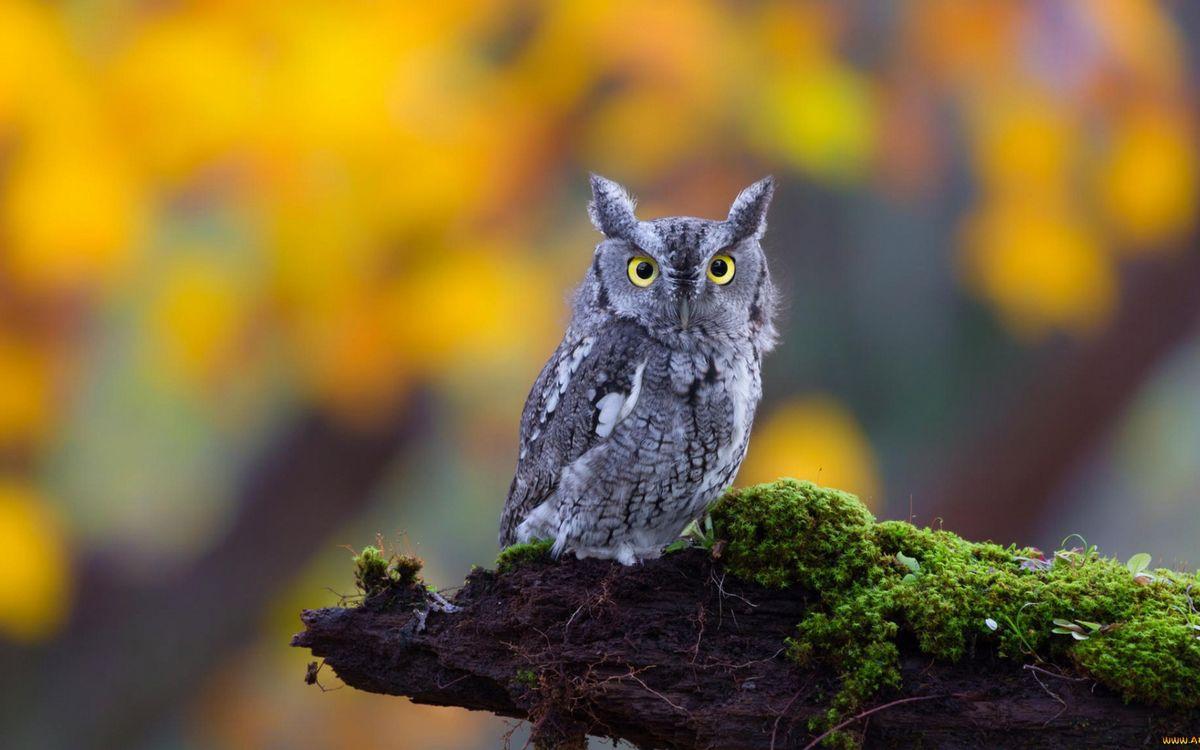 Фото бесплатно сова, глаза желтые, перья, лапки, коряга, мох, птицы