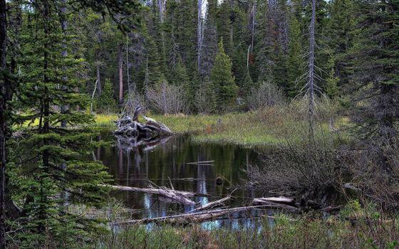 Фото бесплатно болото, лес, елки