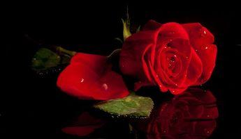Бесплатные фото цветок,роза,капли,чёрный фон,флора