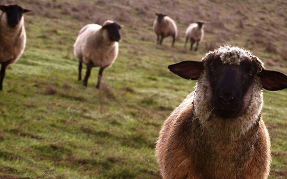 Фото бесплатно пастбище, овечки, отара
