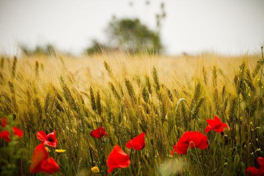 Фото бесплатно пшено, цветы, поле