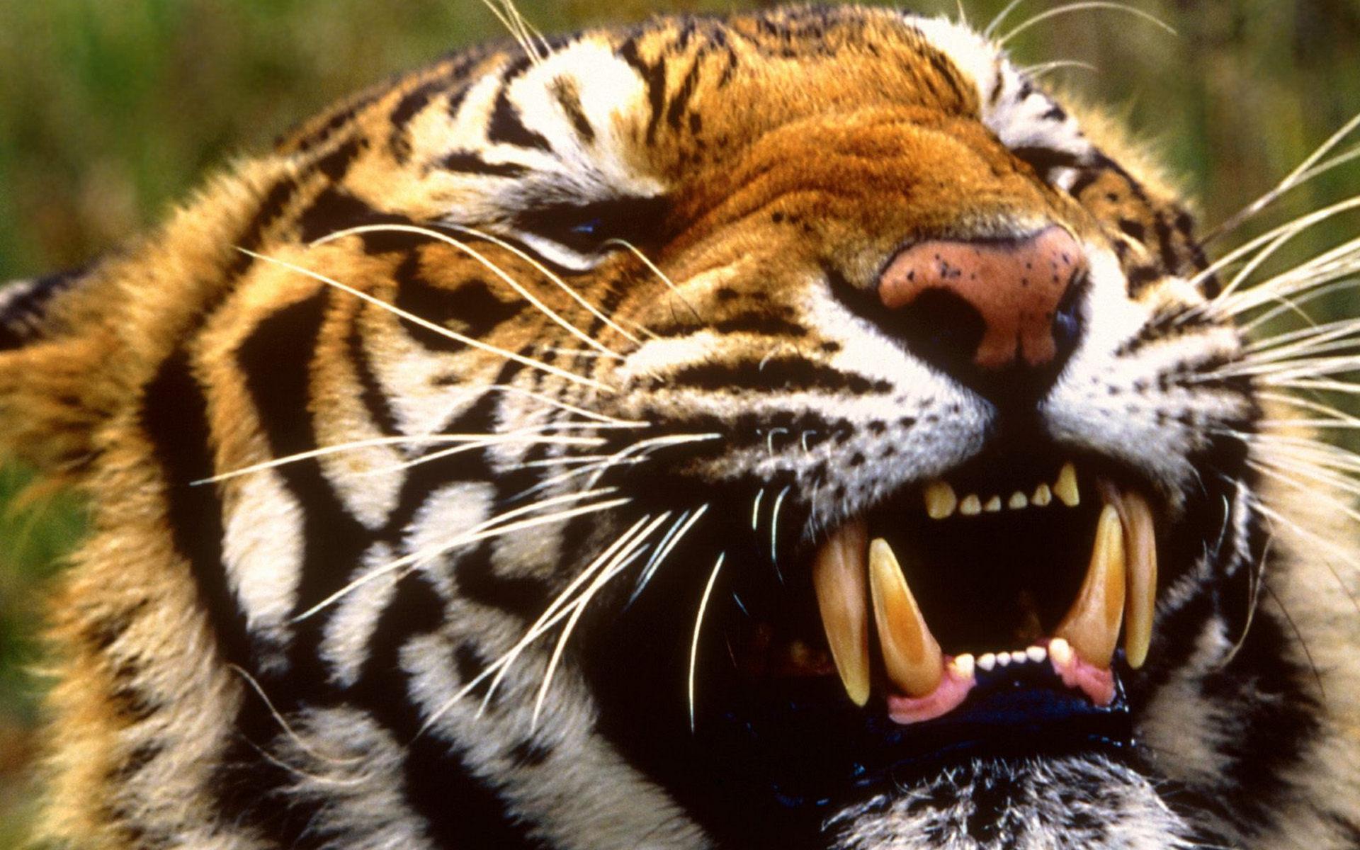 тигр оскал морда бесплатно