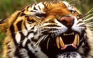 Бесплатные фото тигр,хищник,полосатый,оскал,клыки,шерсть