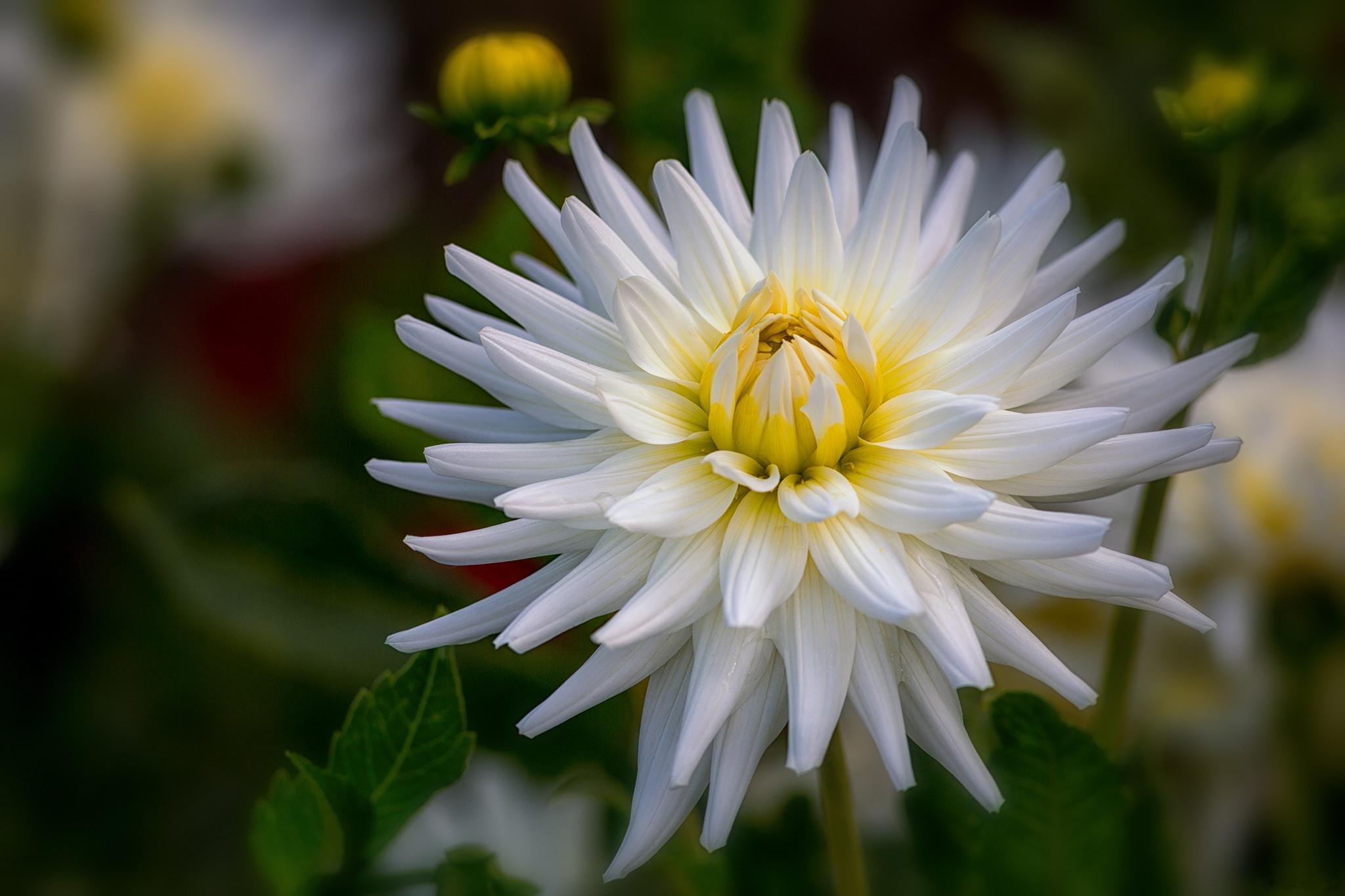 георгин, цветок, флора