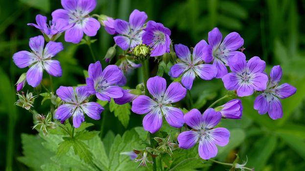 Фото бесплатно Герань лесная, цветы, флора