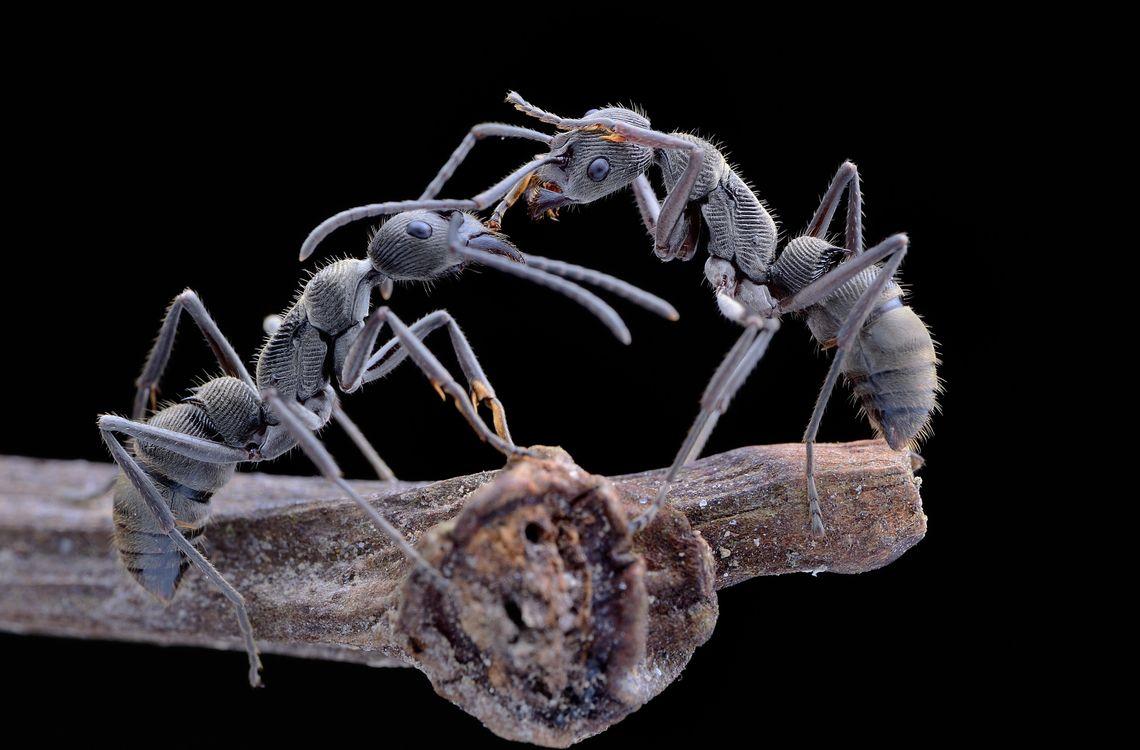 Фото насекомое муравьи хищные насекомые - бесплатные картинки на Fonwall