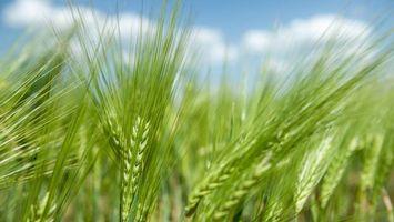 Бесплатные фото поле,пшеница,колосья,небо,облака