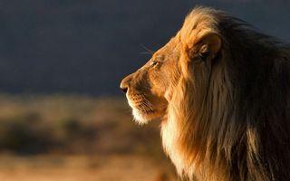 Фото бесплатно лев, царь зверей, морда