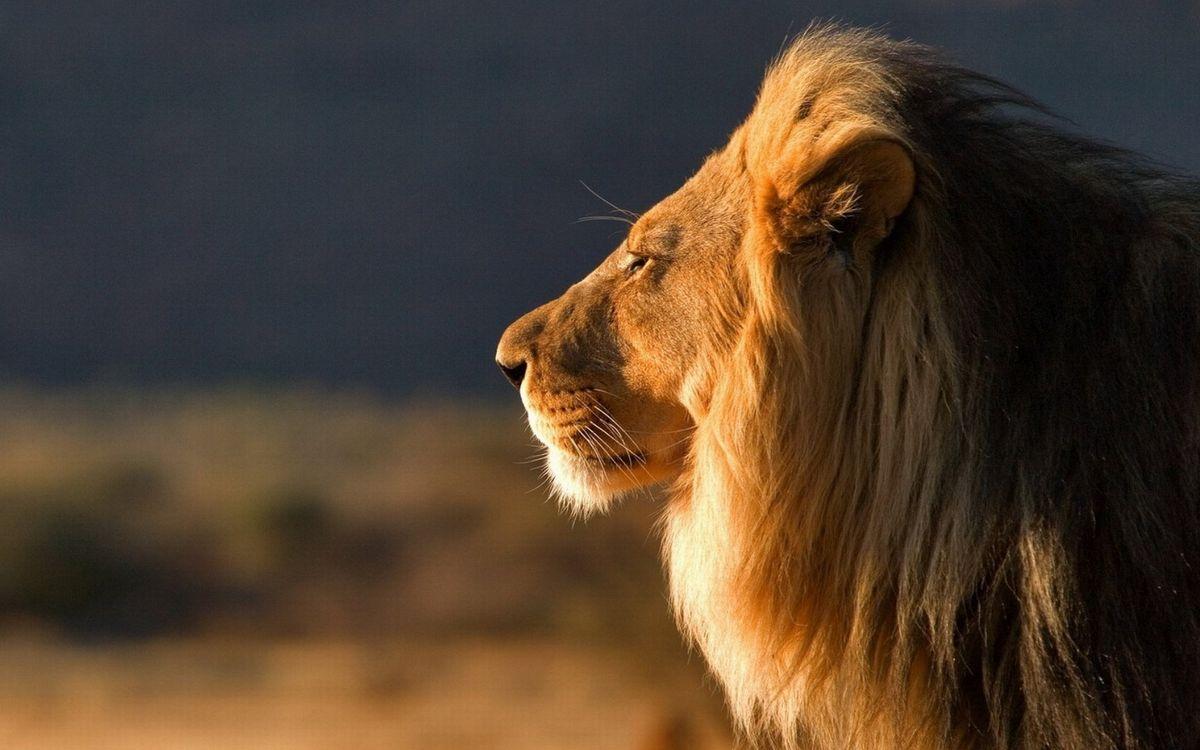 Фото бесплатно лев, царь зверей, морда - на рабочий стол