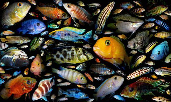 Заставки аквариумные рыбки, семейство цихлидовых, постер