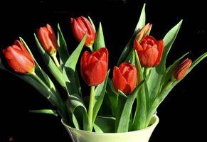 Фото бесплатно цветы, тюльпаны, чёрный фон