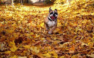 Фото бесплатно пес, бежит, морда, язык, лапы, шерсть, ошейник, листва