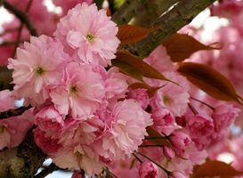Заставки sakura, Cherry Blossoms, ветка, цветы, флора, весна, цветение