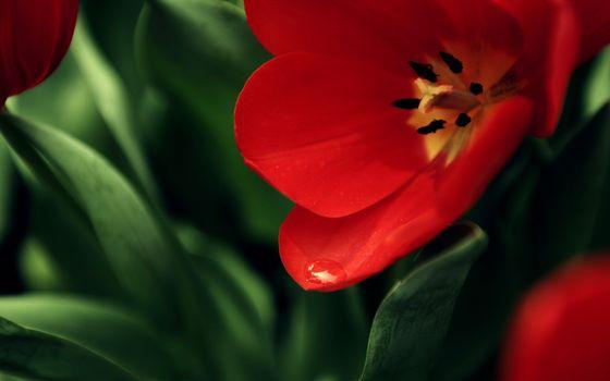 Photo free petals, red, pistils