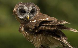 Фото бесплатно сова, глаза, клюв, желтый, перья, крылья