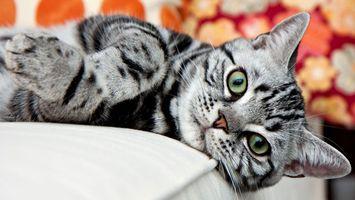 Бесплатные фото кот,серый,лежит,морда,лапы,шерсть