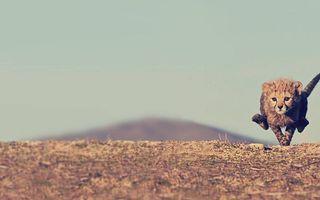 Бесплатные фото гепард,котенок,бежит,морда,лапы,хвост,шерсть