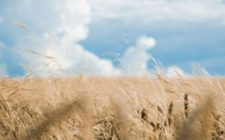 Фото бесплатно пшеница, поле, ветер