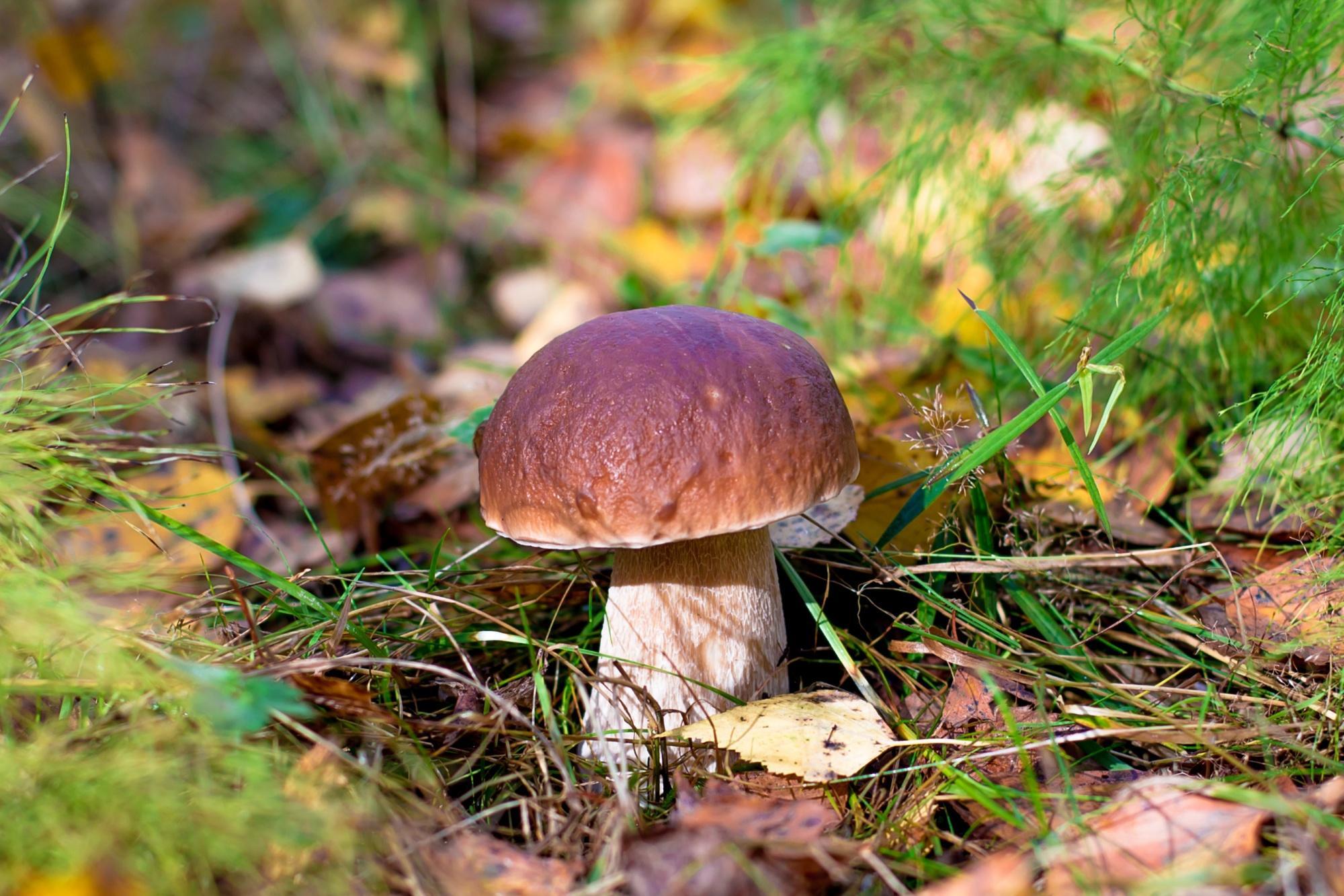 Обои гриб, боровик, белый